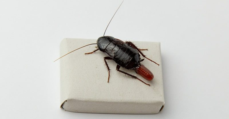 dubia roach colony for pet