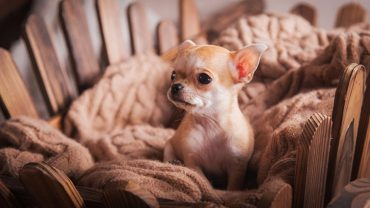 prevent chihuahua from shedding